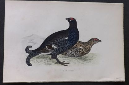 Morris 1870 Antique Bird Print. Black Grouse